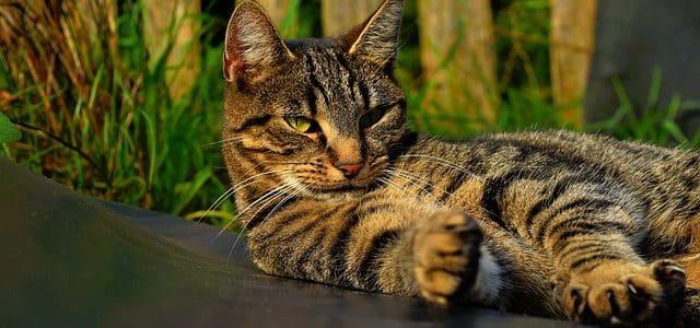 un chat qui se léchouille
