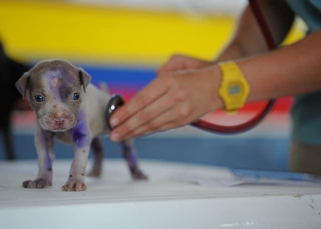 un vétérinaire en plein travail